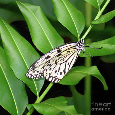 Photograph - Paper Kite Butterfly by Ann Horn