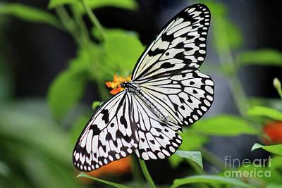 Photograph - Paper Kite Butterfly Dorsal View by Karen Adams