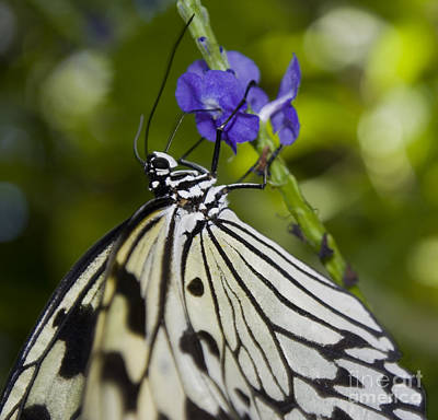 Photograph - Paper Kite Butterfly by Heather Applegate