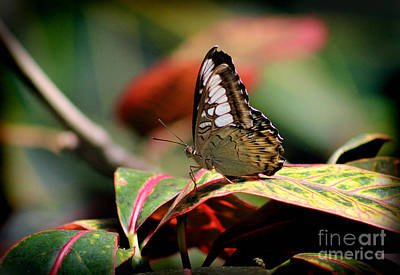 Large Tree Nymph Photograph - Paper Kite Butterfly by Karen Adams