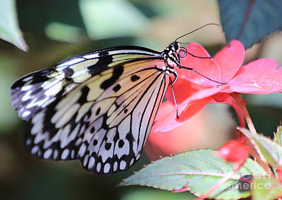 Large Tree Nymph Photograph - Paper Kite Butterfly On Pink Flower by Carol Groenen