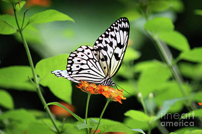 Photograph - Paper Kite Butterfly Ventral View by Karen Adams