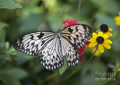 Large Tree Nymph Photograph - Paper Kite On Pentas by Carol Groenen