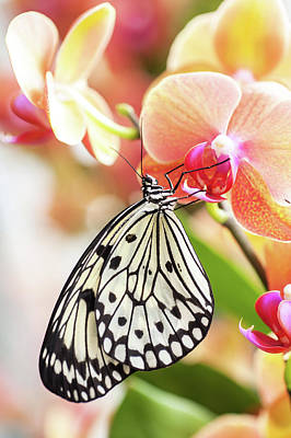 Photograph - Paper Kite Tropical Butterfly On Orchid Flower by Jenny Rainbow