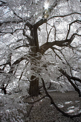 Photograph - Paper Mulberry In Infrared by Liza Eckardt