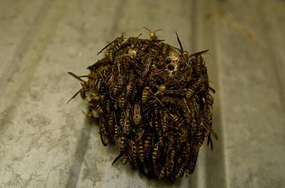 Wasp Nest Photograph - Paper Wasp Nest Near Otoe, Ne by Joel Sartore