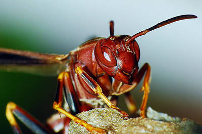 Photograph - Paper Wasp - Polistes Metricus by Larah McElroy