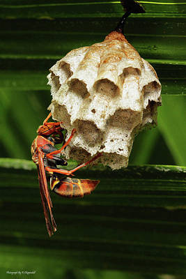 Photograph - Paper Wasps 00666 by Kevin Chippindall