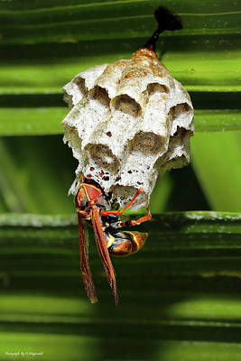 Photograph - Paper Wasps 0089 by Kevin Chippindall
