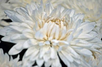 Flower Painting - Paper White Chrysanthemum by Debra  Miller