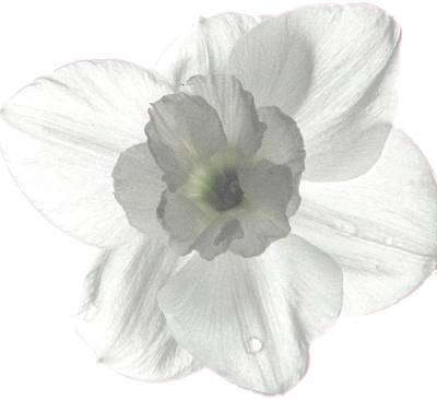 Photograph - Paper White Narcissus by Angela Davies