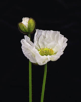 Photograph - Paper White Poppy by Nancy Kirkpatrick