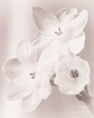 Photograph - Paper Whites II by Tamara Becker
