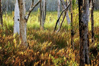 Photograph - Paperbark Swamp by Nicholas Blackwell