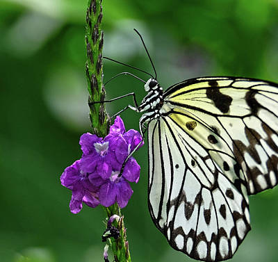 Photograph - Paperkite Butterfly Closeup by Ronda Ryan
