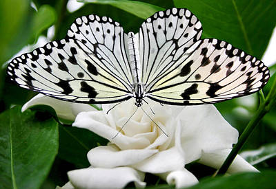 Photograph - Paperkite On Gardenia by Kristin Elmquist