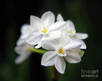 Photograph - Paperwhite Narcissus by Elizabeth Winter