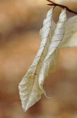 Photograph - Papery Beech by Debbie Oppermann