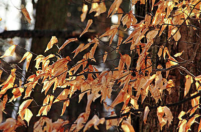Photograph - Papery Beech Leaves by Debbie Oppermann