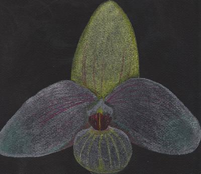 Paphiopedilum Mem. Orchid Art Print