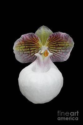 Photograph - Paphiopedilum Micranthum Eburneum Orchid by Judy Whitton