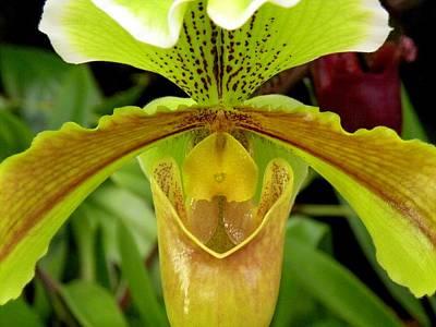 Paphiopedilum Orchid Art Print by Rosalie Scanlon