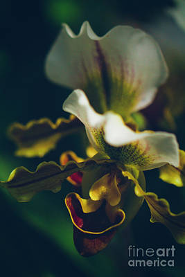 Photograph - Paphiopedilum Villosum Orchid Lady Slipper by Sharon Mau