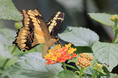 Photograph - Papilio Machaon Butterfly by Angela Murdock