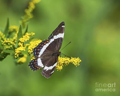 Papilio.. Art Print by Nina Stavlund