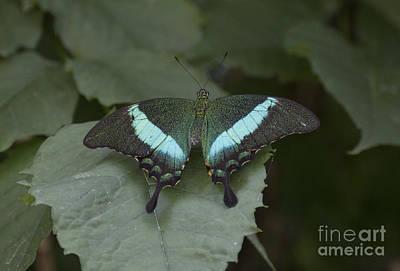 Photograph - Papilio Palinurus by Pietro Ebner