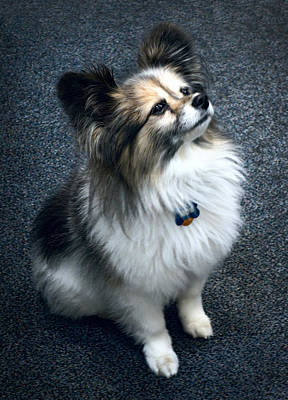 House Pet Photograph - Papillon Dog by Daniel Hagerman