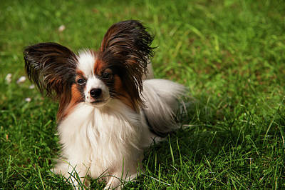 Photograph - Papillon Dog by Jenny Rainbow