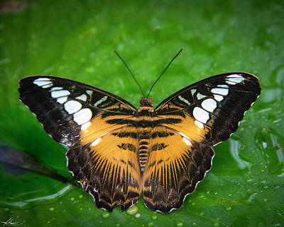 Photograph - Papillon by Philip Rispin