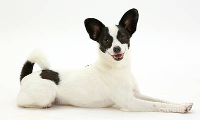 House Pet Photograph - Papillon X Jack Russell Terrier Dog by Mark Taylor