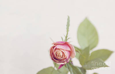 Photograph - Parade Rosebud by Cindy Garber Iverson
