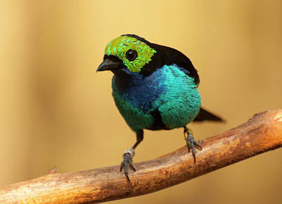 Photograph - Paradise Tanager Facing Right by Chris Flees