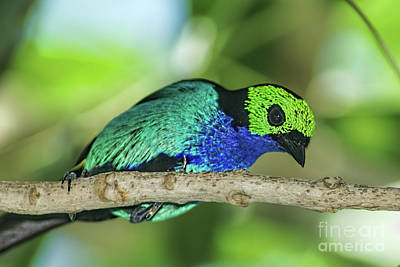 Photograph - Paradise Tanager Songbird by Olga Hamilton