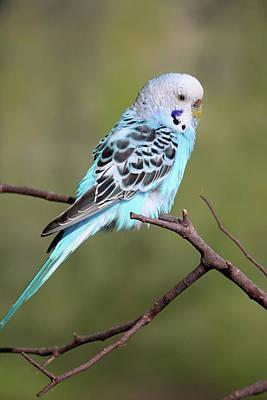 Photograph - Parakeet - Blue 02 by Pamela Critchlow