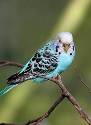 Photograph - Parakeet - Blue by Pamela Critchlow