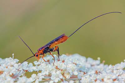 Photograph - Parasitoid Wasp - Glyptomorpha Pectoralis by Jivko Nakev