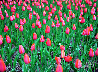 Photograph - Park Avenue Tulips by John Rizzuto