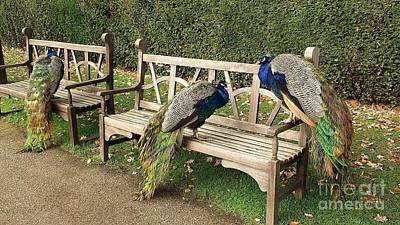 Photograph - Park Bench Peacocks by John Williams