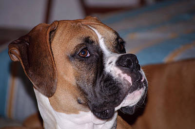 Photograph - Parker The Boxer 02 by John Knapko