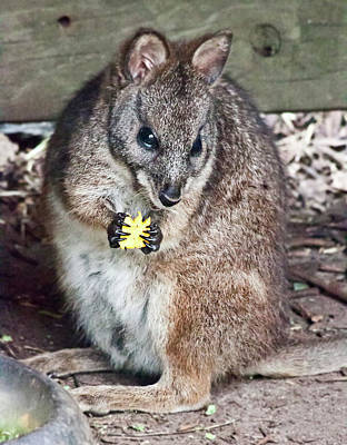 Photograph - Parma Wallaby Lunchtime by Miroslava Jurcik