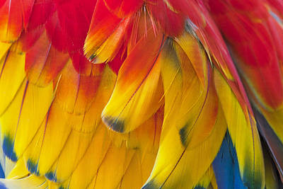 Photograph - Parrot Feathers by Ken Barrett