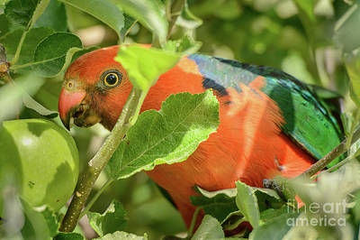 Photograph -  Parrot In Apple Tree by Werner Padarin