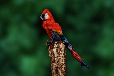 Macaw Photograph - Parrot Bodypainting Illusion by Johannes Stoetter
