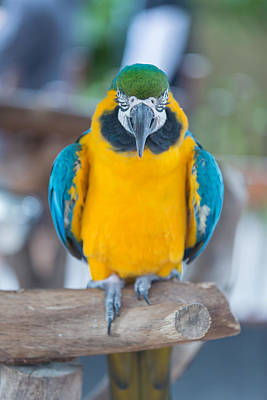 Photograph - Parrot by Josef Pittner