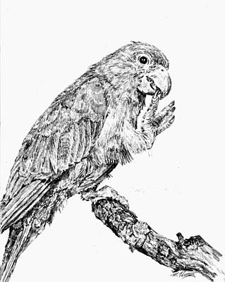 Molly Drawing - Parrot by Mark Hartung