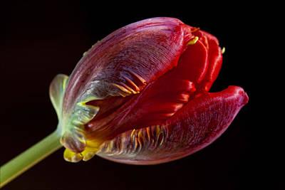 Parrot Tulip 11 Art Print by Robert Ullmann